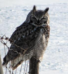 Slow Food aims to support diversity of plant  and animal life, including this great horned owl, a valued hunter in our prairie ecosystem.